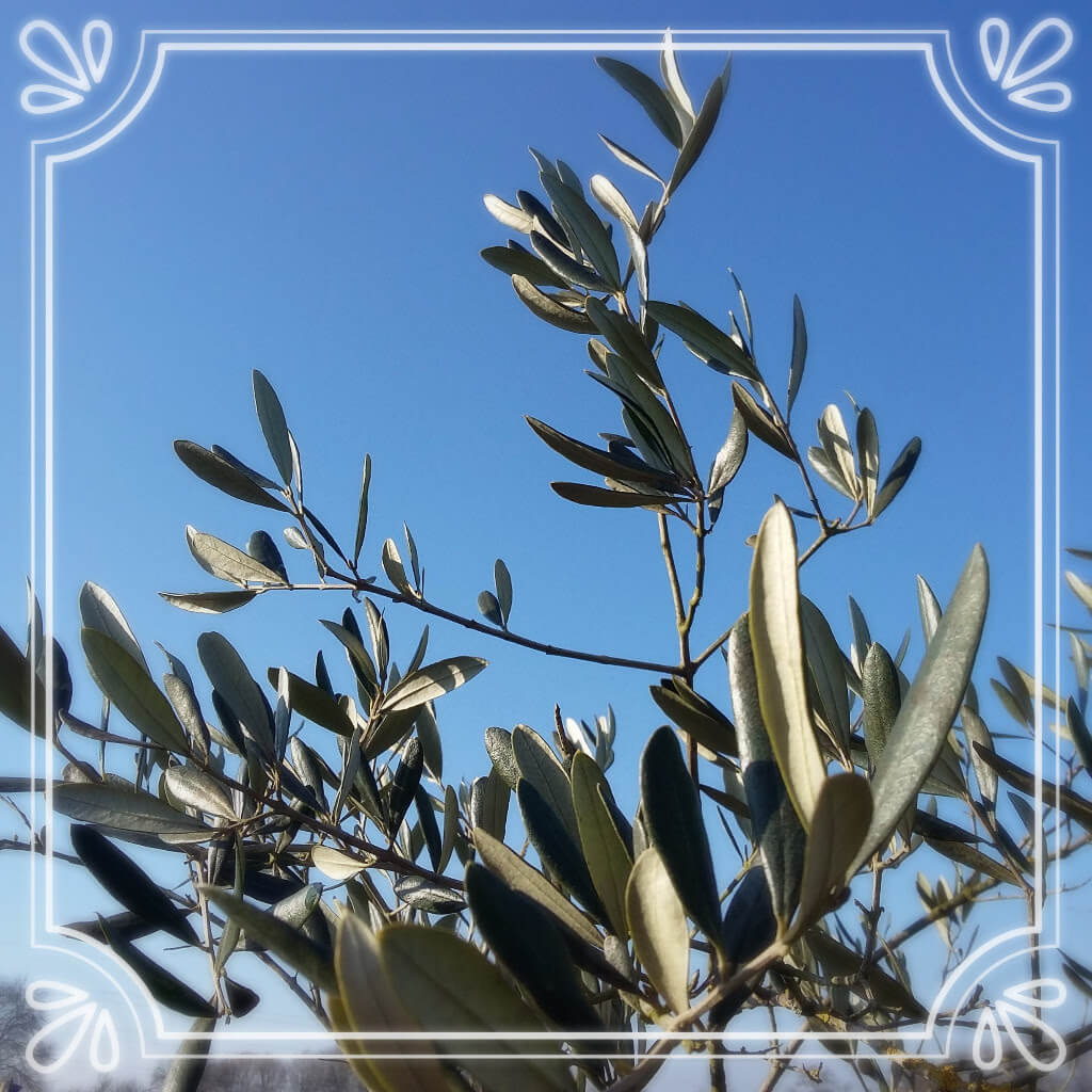 olive tree blue sky